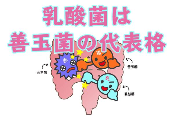 乳酸菌は腸内で善玉菌の働きを助ける