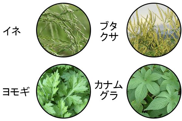 秋の花粉症の原因となる植物「イネ」「ブタクサ」「ヨモギ」「カナムグラ」